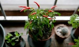 Cách trồng cây gia vị trong nhà cực đơn giản - trong cay gia vi trong nha2 300x181