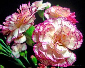 Kỹ thuật trồng hoa Cẩm Chướng - trong hoa cam chuong1 300x240 1