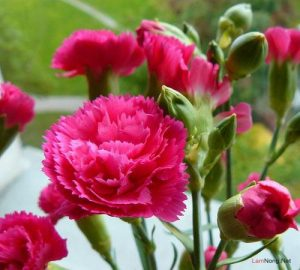 Kỹ thuật trồng hoa Cẩm Chướng - trong hoa cam chuong2 300x270