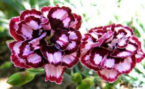 Kỹ thuật trồng hoa Cẩm Chướng - trong hoa cam chuong3 300x185