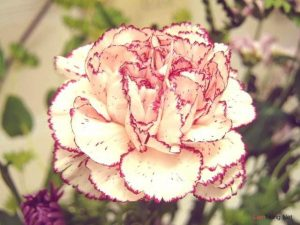 Kỹ thuật trồng hoa Cẩm Chướng - trong hoa cam chuong4 300x225