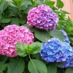 Chia sẻ cách trồng hoa Cẩm Tú Cầu