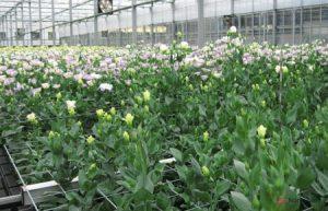 Chia sẻ cách trồng hoa Cát Tường - trong hoa cat tuong1 300x193