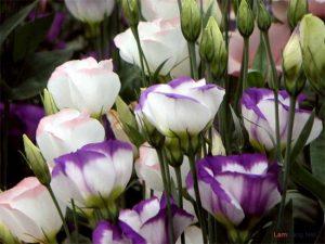 Chia sẻ cách trồng hoa Cát Tường - trong hoa cat tuong2 300x225 1