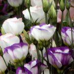 Chia sẻ cách trồng hoa Cát Tường