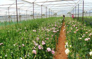 Chia sẻ cách trồng hoa Cát Tường - trong hoa cat tuong3 300x194