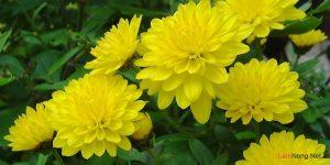 Quy trình trồng hoa Cúc vàng - trong hoa cuc vang1 300x150 1