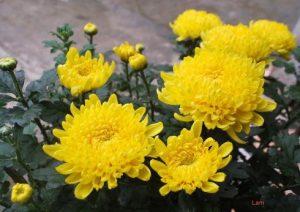 Quy trình trồng hoa Cúc vàng - trong hoa cuc vang2 300x212