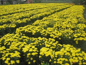 Quy trình trồng hoa Cúc vàng - trong hoa cuc vang3 300x225 1