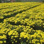 Quy trình trồng hoa Cúc vàng - trong hoa cuc vang3 300x225 150x150
