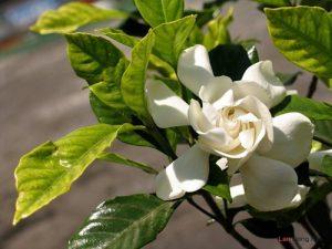 Chia sẻ cách trồng hoa Dành Dành - trong hoa danh danh1 300x225 1