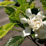 Chia sẻ cách trồng hoa Dành Dành