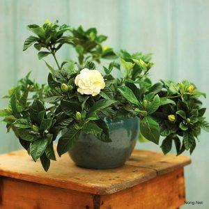 Chia sẻ cách trồng hoa Dành Dành - trong hoa danh danh2 300x300
