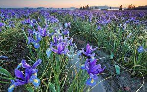 Chia sẻ cách trồng hoa Diên Vĩ - trong hoa dien vi1 300x188 1