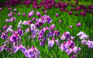 Chia sẻ cách trồng hoa Diên Vĩ - trong hoa dien vi2 300x188 1