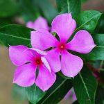 Cách trồng hoa Dừa cạn đơn giản - trong hoa dua can4 150x150