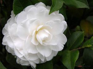 Trồng hoa gì cho hương thơm khắp nhà ? - trong hoa gi thom2 300x225
