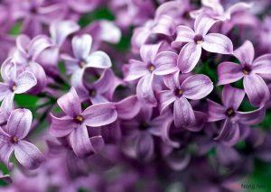 Trồng hoa gì cho hương thơm khắp nhà ? - trong hoa gi thom3 300x213