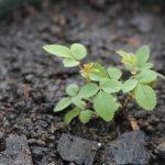 Cách trồng hoa Hồng leo bằng hạt