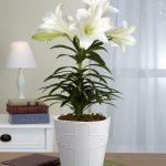 Cách trồng hoa Ly trong chậu - trong hoa ly 150x150