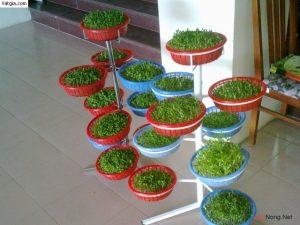 Bí quyết trồng rau mầm tại nhà - trong rau mam tai nha1 300x225