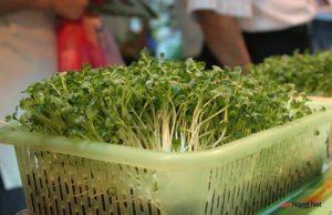 Bí quyết trồng rau mầm tại nhà - trong rau mam tai nha3 300x194