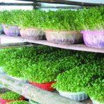 Mẹ đảm trồng rau sạch cho con ăn dặm - trong rau sach cho be an dam2 150x150