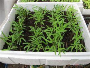 Hướng dẫn cách trồng rau muống trong thùng xốp - trong rau sach tai nha 2 300x225