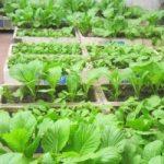 Cách trồng rau Quế tại nhà siêu đơn giản - trong rau thung xop21 300x200 1 150x150