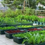 Hiện thực hóa ý tưởng trồng rau trên sân thượng