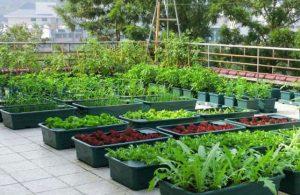 Những lợi ích từ việc trồng rau sạch không phải ai cũng biết - trong rau tren san thuong 5 300x195