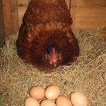 Hướng dẫn kỹ thuật nuôi Gà ta đẻ trứng - trung2 150x150
