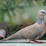 Tổng hợp kinh nghiệm nuôi chim Cu Gáy (Phần 1) - tungmq20128217360224 0 jpeg 150x150