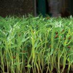Cách trồng rau Muống bằng hạt