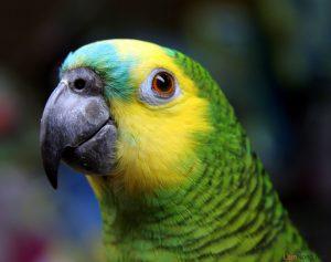 5 kỷ lục lạ của những loài chim có thể bạn chưa biết - vet amazon 300x237