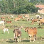 Triển vọng từ mô hình nuôi Bò sinh sản ở Vĩnh An