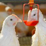 Ứng dụng hệ thống núm uống tự chảy trong chăn nuôi Gà