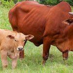 Quảng Bình: Giàu lên nhờ nuôi Bò - web 267 150x150