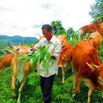 Xóa đói, giảm nghèo từ chăn nuôi Bò Mông tại Kỳ Sơn. - web 277 150x150
