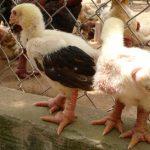 Mô hình chăn nuôi Gà lai Đông Tảo thương phẩm