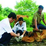 Cách phòng ngừa bệnh thường gặp trên gia súc