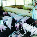 Cách phòng và trị bệnh tụ huyết trùng trên Lợn - z300 nguoi chan nuoi 16 150x150