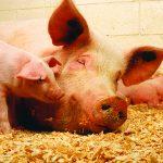 Kĩ thuật nuôi Lợn sạch bằng men ủ vi sinh