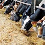 Phòng chống bệnh do nắng nóng gây ra trên Bò sữa - z300 nguoi chan nuoi 195 150x150