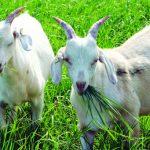 Vệ sinh thú y và cách phòng bệnh trên Dê, Cừu - z300 nguoi chan nuoi 278 150x150