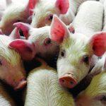 Cách phòng, trị bệnh tai xanh ghép với một số bệnh trên Lợn - z300 nguoi chan nuoi 321 150x150