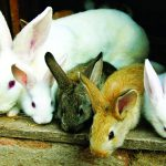 Kỹ thuật nuôi Thỏ sinh sản - z300 nguoi chan nuoi 326 150x150