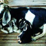 Kĩ thuật chăn nuôi Dê cái sinh sản