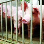 Làm giàu nhờ chăn nuôi Lợn, Gà theo quy mô trang trại - z300 nguoi chan nuoi 412 150x150