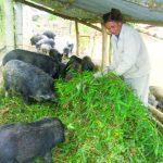 Nuôi Lợn rừng thu nhập trên 250 triệu đồng mỗi năm - z300 nguoi chan nuoi 438 150x150